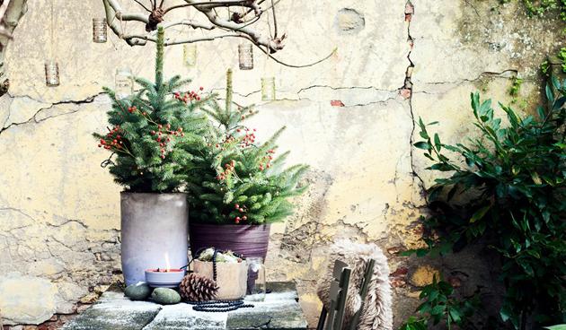 Tuinplant van december: fijnspar