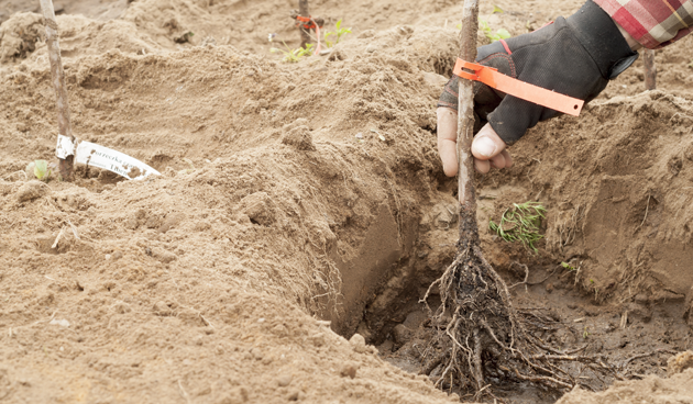 Planten met kale wortel zijn goedkoper dan planten in pot