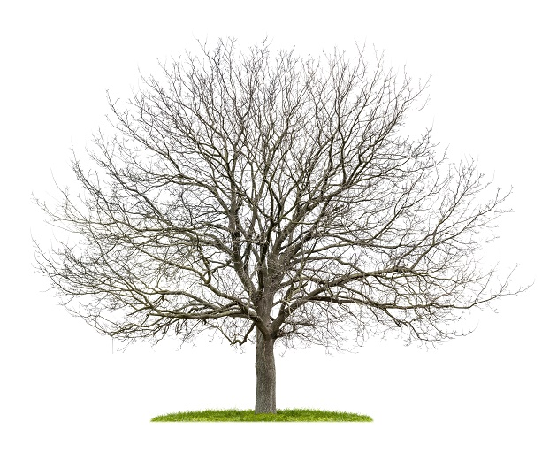walnootboom winter