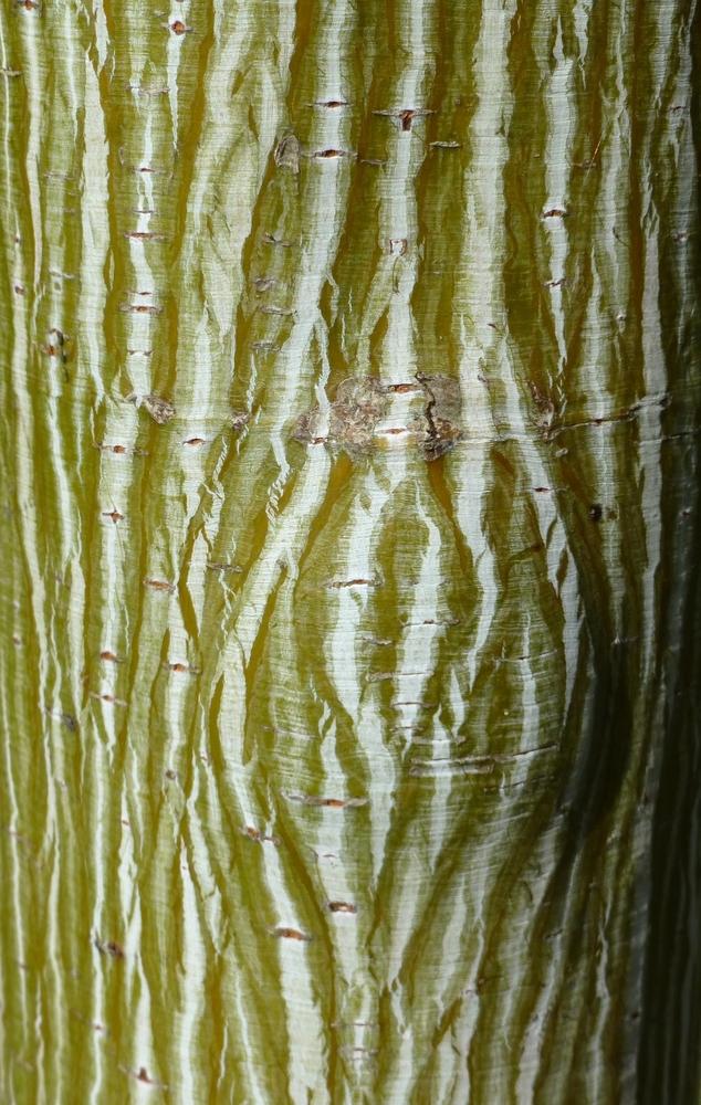 Acer davidii, kleine bomen, tuinseizoen