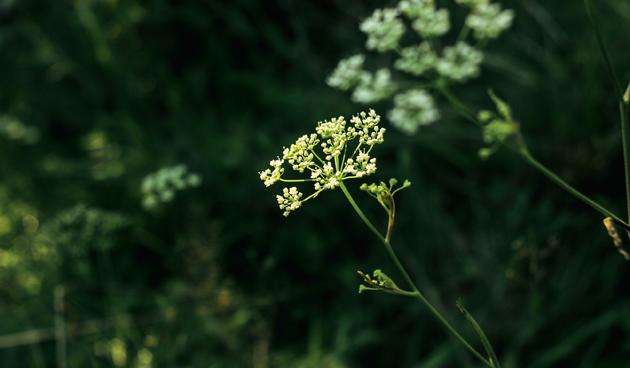 Anijs in de tuin