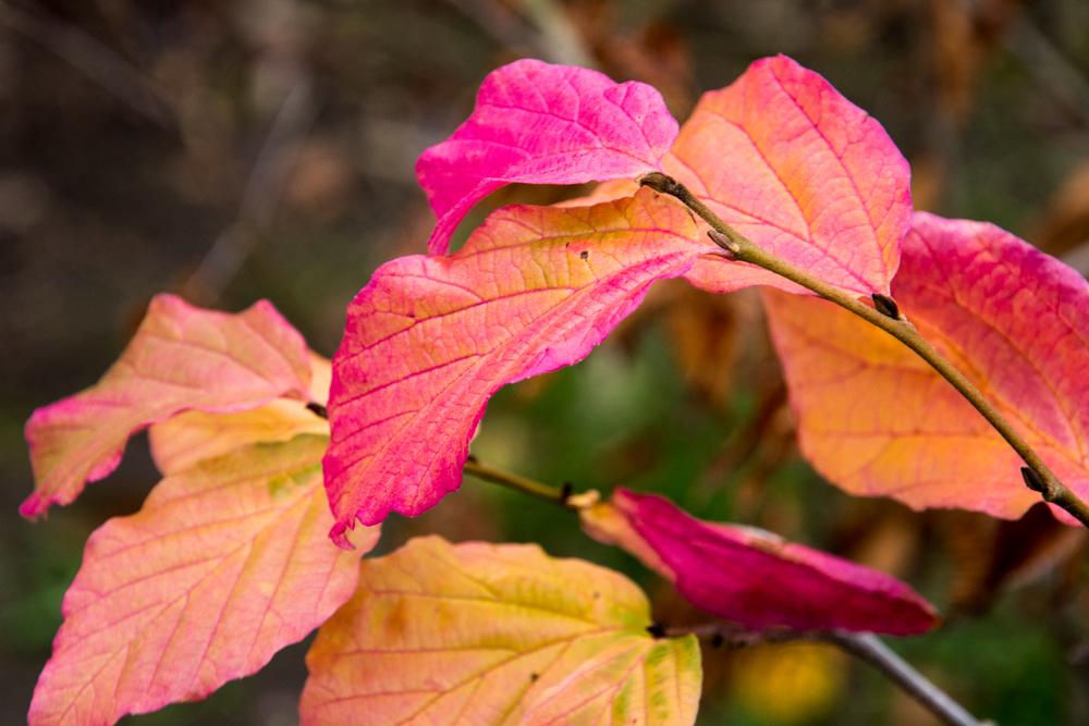 IJzerhout (Parrotia persica) is een kleine boom met de meest vlammende herfstkleur