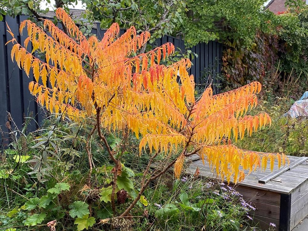 De meerstammige Rhus typhina 'Tiger Eyes' is een kleine boom met een spectaculaire herfstkleur