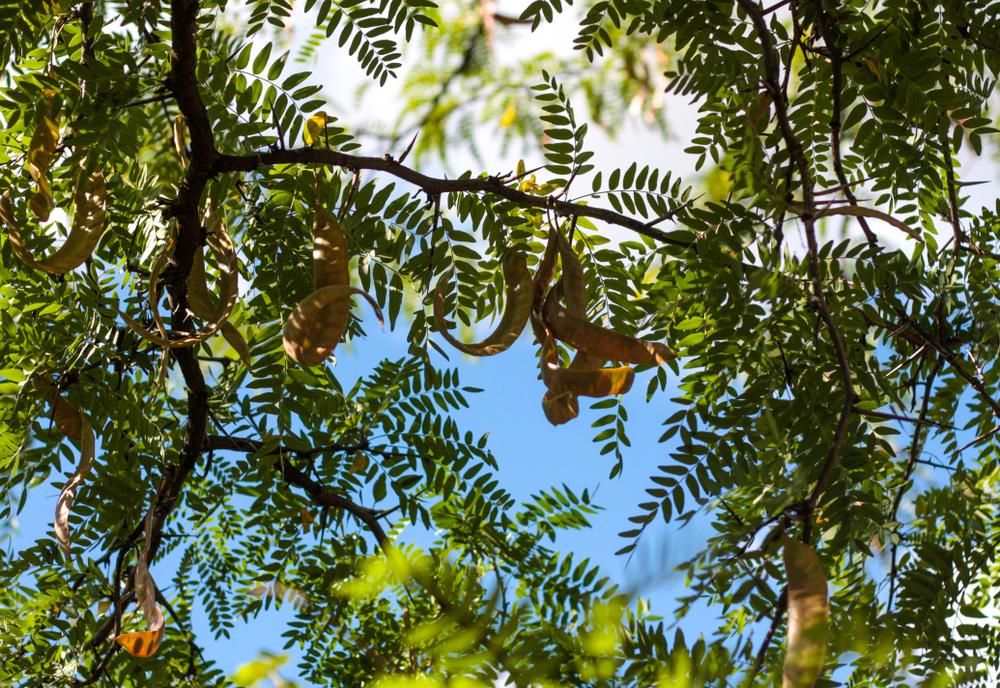 Valse Christusdoorn, kleine boom, Gleditsia triacanthos ruby place