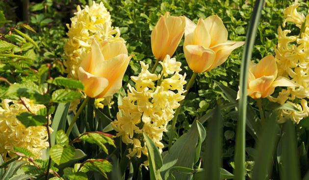 Tulpen in de voorjaarstuin