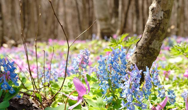 Helmbloem: geurende voorjaarsbloeier