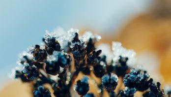 Bevroren hortensia's: knip de zwarte, verdroogde delen weg