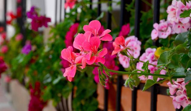 Bloemen naar buiten na IJsheiligen