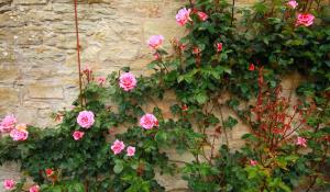 rozen snoeien: klimroos