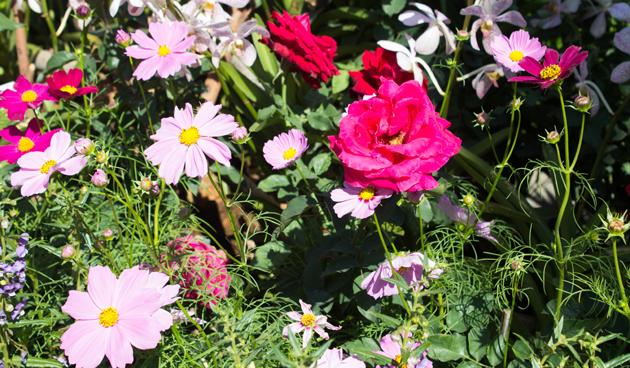 cosmea met rozen