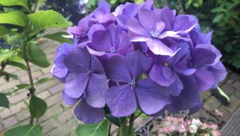 Hortensia's (weer) blauw maken [+video]