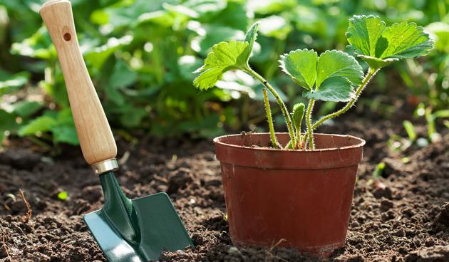 Aardbeien stekken en aanplanten