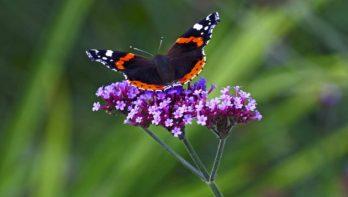 Meer vlinders & bijen in je tuin