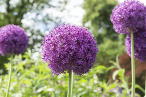 Close up van een Alliums
