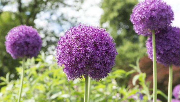 Leuke weetjes over Alliums