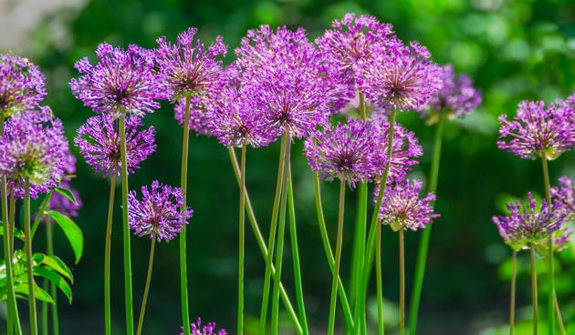 Tijd voor Alliums