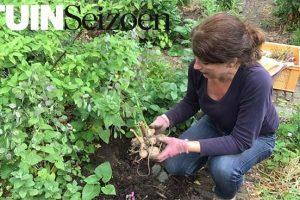 dahliaknollen planten - tuinvlog