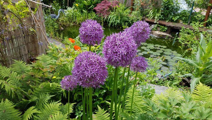 Alliums op een rij