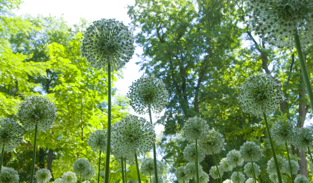 alliums planten