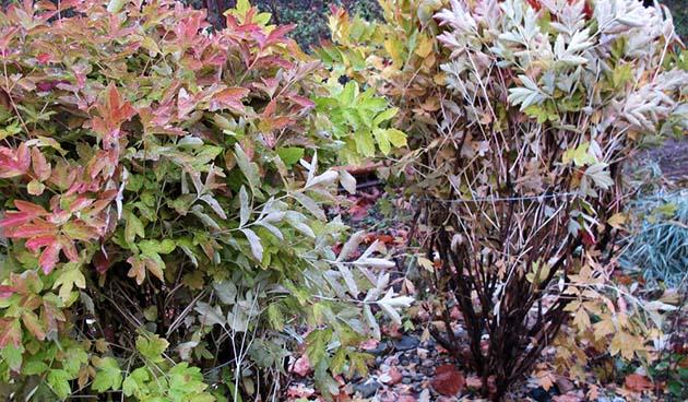 pioenrozen planten, tuinseizoen, pioenen, pioenrozen