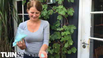 Hortensia's blauw houden – Tuinvlog