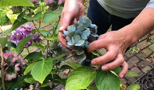 Hortensia's blauw houden - Tuinvlog