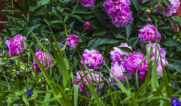 Pioenrozen planten