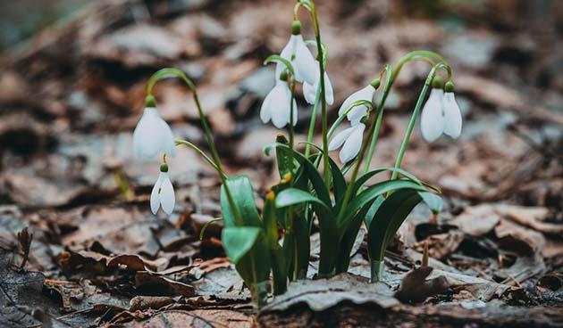 sneeuwklokjes scheuren tuinvlog