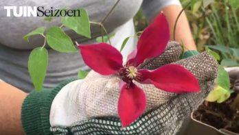 Clematis planten - tuinvlog