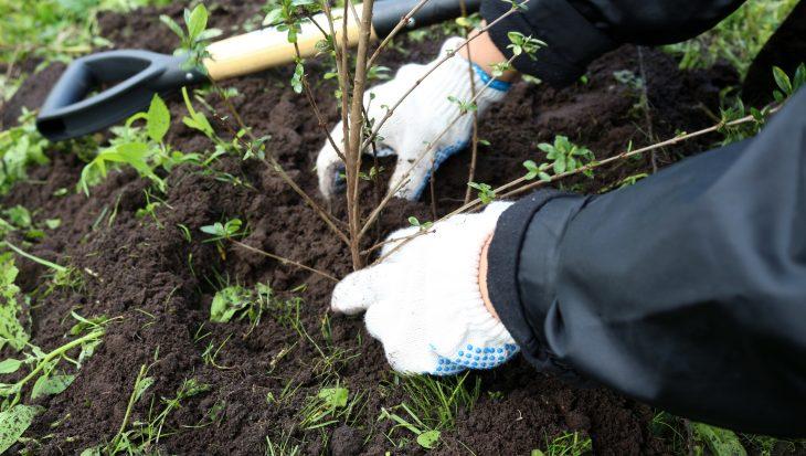 Haag planten in de winter
