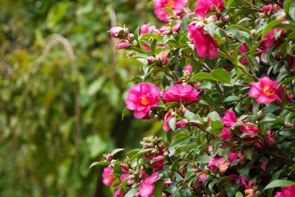 Camelia, Camellia, tuin, verzorgen, tuinseizoen
