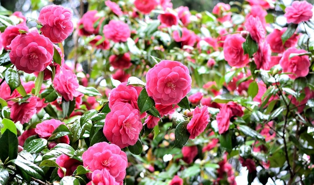 camelia, Camellia, tuin, onderhoud, tuinseizoen