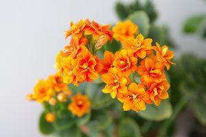 Oranje Kalanchoë