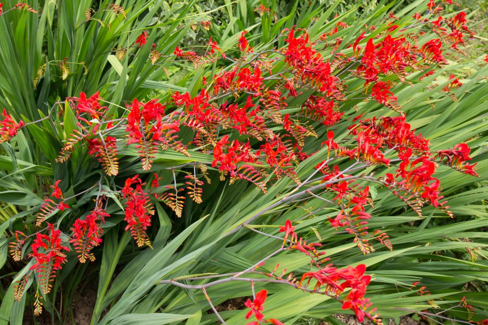Crocosmia, planten, tuinklusjes, maart