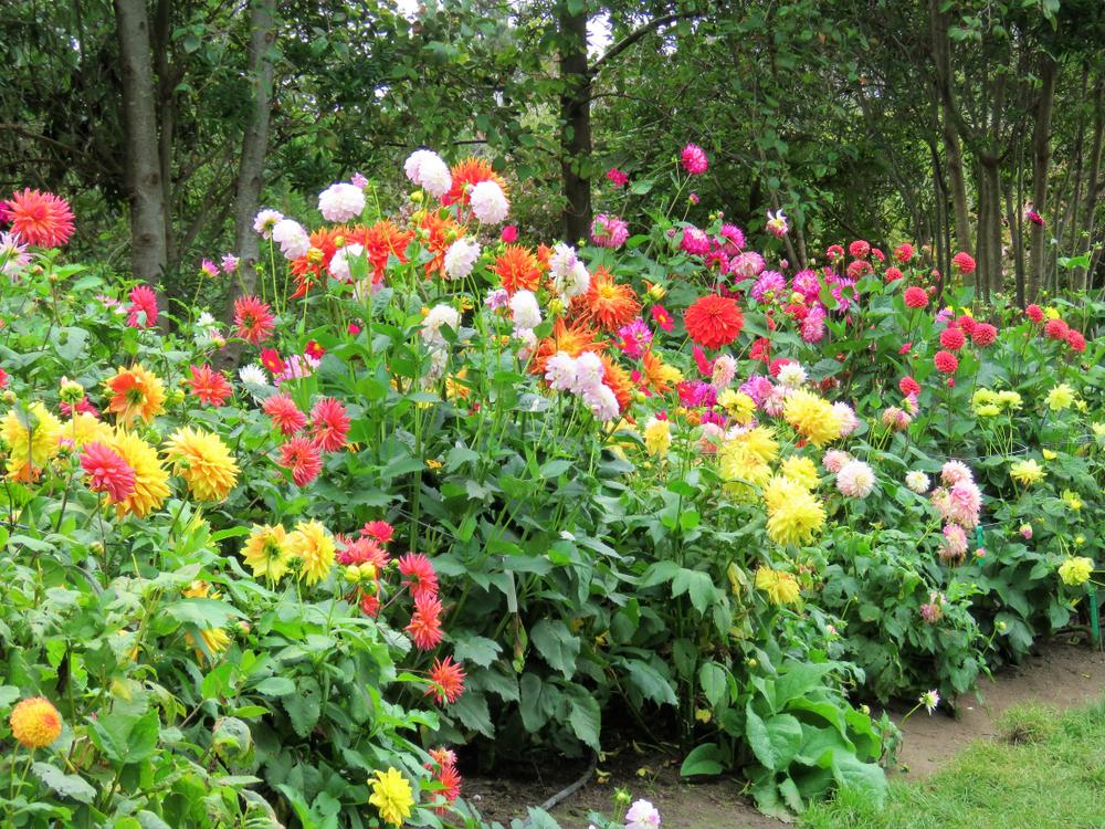 dahlia, tuinklusjes in juni, tuinseizoen