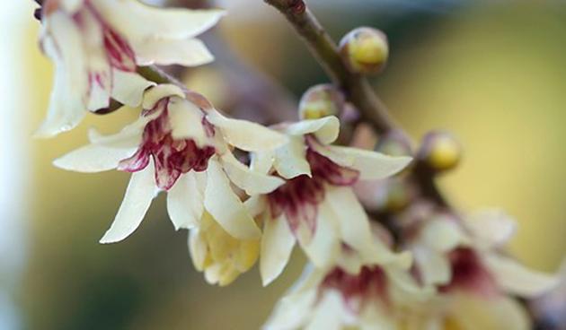 Meloenboompje (Chimonanthus praecox)