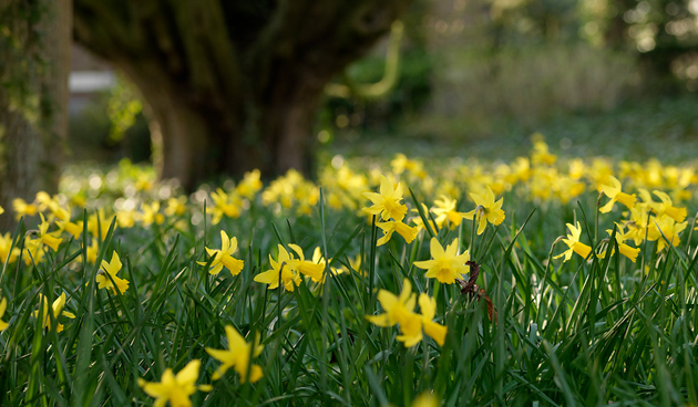 deze narcis bloeit in februari