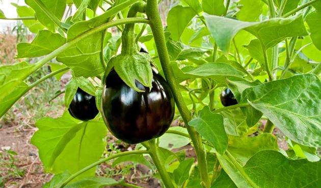 aubergine zaaien
