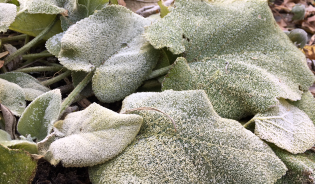 bladplanten en vorst