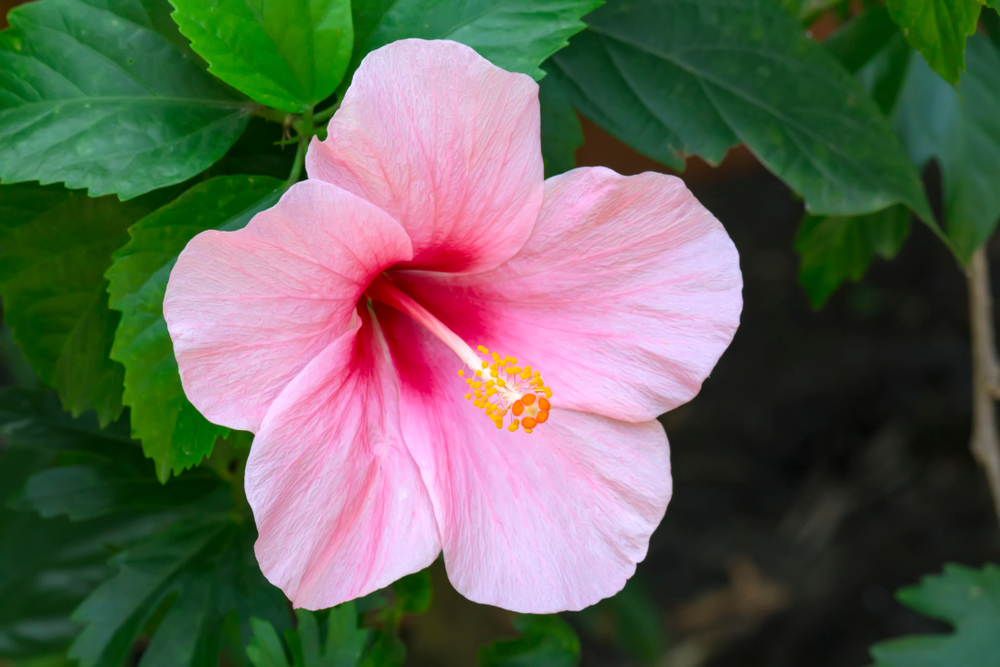 hibiscus, snoeien, tuinseizoen