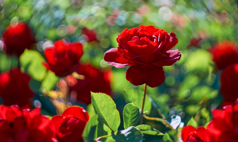 Rozenstruik, roos, snoeien,
