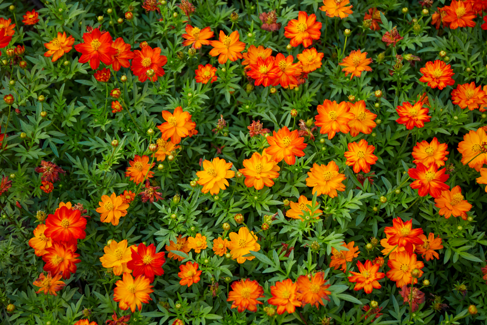 Cosmos sulphureus, oranje, vrolijk, tuinseizoen