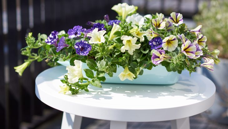 Prachtige petunia; een mooie zomerplant