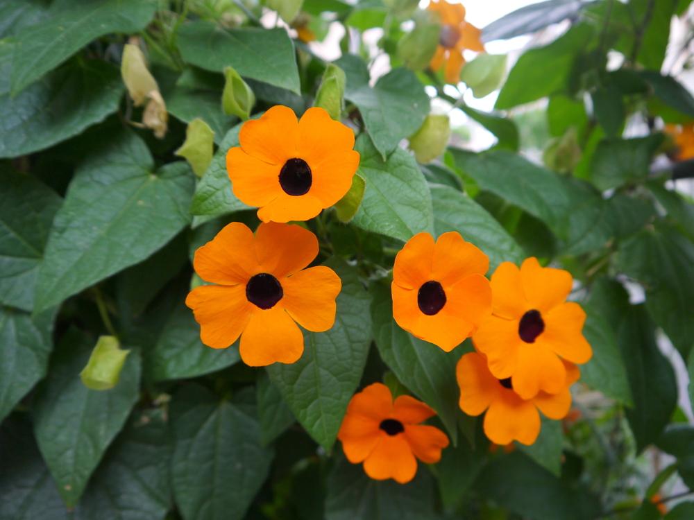 Thunbergia alata, oranje eenjarigen, tuinseizoen