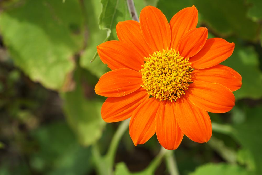 Tithonia, mexicaanse zonnehoed, oranje, tuinseizoen