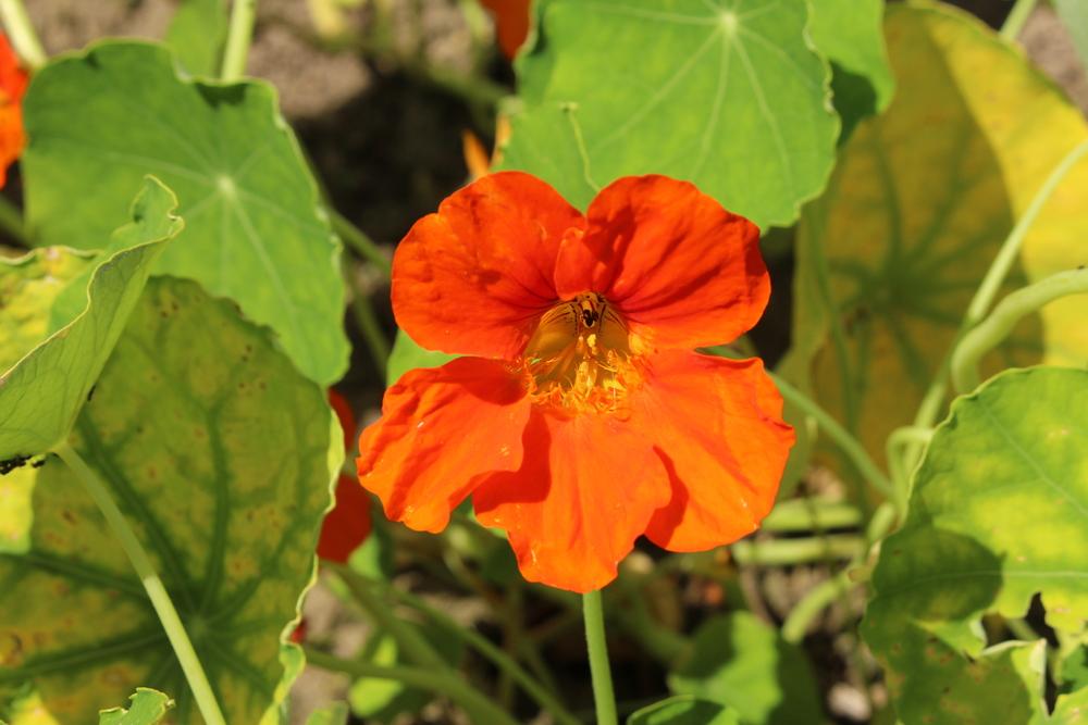 Tropaeolum, oost-indische kers, oranje, tuinseizoen, oranje eenjarigen