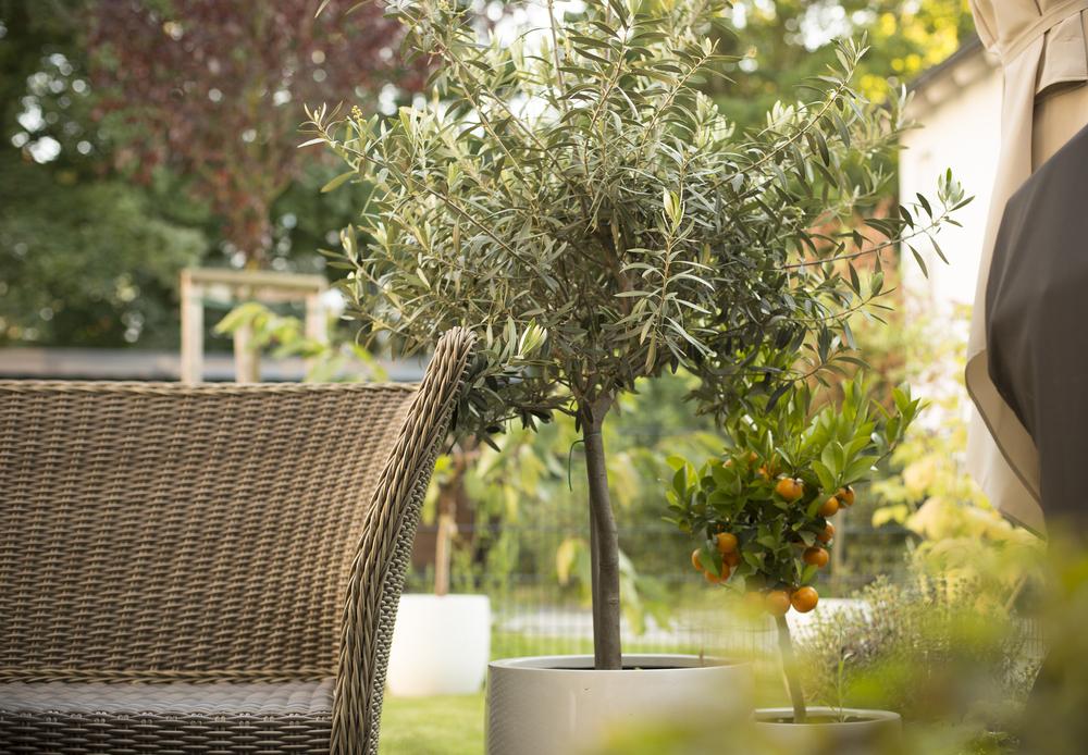 olijfboom, terras, olijf, tuinseizoen