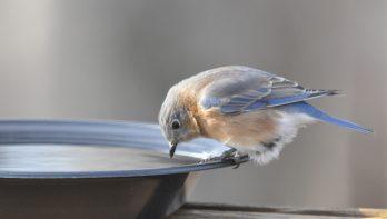 Geef vogels extra water tijdens warme dagen