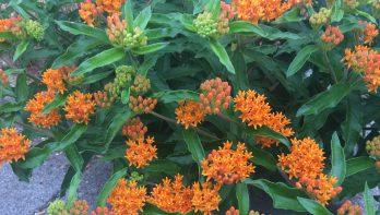 Hoe heet deze plant? Tuinseizoen augustus