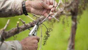 Druiven snoeien: wanneer en hoe?